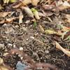 【ブログ休止中の振り返り】早すぎる球根の芽出し、鉢植えバラ マルシェルブの剪定
