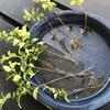 プリペットとシマトネリコの挿し芽