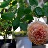 このバラは、、、