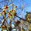 弘前公園のマルバマンサク咲いでらよ♪ソメイヨシノの開花時期を占う花っこ