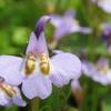 ムラサキサギゴケと良く似た花たち
