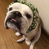 #唐草模様が似合うトムくんは日本一!の話。😁