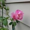 スパニッシュ・ビューティが咲きました