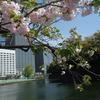 東京大手町内『大手濠と内堀通りの八重桜』