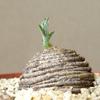インテリアグリーンに最適!独特の魅力を放つ塊根植物8選