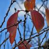土曜日:桜も紅葉するのか