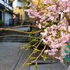 福井の桜求めて徘徊する