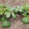 ジャガイモの芽かきと土寄せ