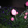 遂にチューリップが沢山咲いた、うれしいです。