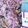 マルコに満開の桜が咲きました🌸