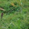渡良瀬遊水地の野鳥  2021年8月13日