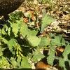 ナズナは無味だが高栄養価 春の七草