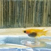 産卵床に卵を産み付けるのが下手なダルマメダカぼ為の産卵床 5/26メダカ飼育