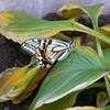 12月の蝶