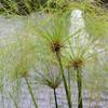 聖書の植物(10)ー「パピルス」