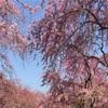 Ein Japanerin zeigt dir! Das schönste Kirschblossam in Kyoto 【Reise Japan mit einem Kinderwagen】