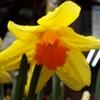 黄色い大きな水仙