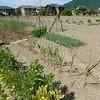 大蒜と花芽収穫