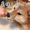 「Hartz®(ハーツ)犬用スナックチューデント」を柴犬の新太郎にあげてみた
