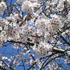 満開の桜を愛でながら歩く