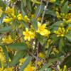 有毒植物① カロライナジャスミン(有毒部位:全体)