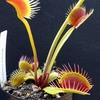Dionaea 'DC XL'