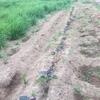 安納芋は、定期的に降ってくれる雨によって順調に生育を続けております