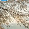 下灘駅の桜ポスターを作ってみた