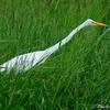 ベリーズ 街中の沼地の水鳥たち