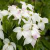 ヤマボウシの白い花、終盤になるとピンク色の斑が現れる
