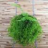 苔玉にする植物の根鉢は崩さない