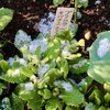 「佐久の季節便り」、「プリムラ」、「カタクリ(片栗)」も雪を被り…。