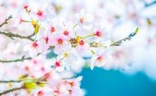 なぜ日本人は桜が好きなの?桜と日本文化を英語で語ろう!