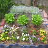 【家庭菜園】サンチュが青々と茂っています。