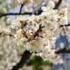 中国の旅行者は「花季」の主力に 一部の花見ツアー料金が逆に下がった