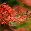 ❀小石川植物園で彼岸花と水滴撮影!