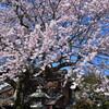 哲学の道へ  桜花と新島 襄・八重夫妻の墓所を訪ねる