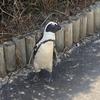 【南アフリカ】ケープタウン旅行記⑦ 5日目 ペンギンコロニー、キャンプスベイのサンセットビーチ