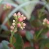 今年のカランコエはきれいに咲く…はず!?
