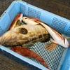 2019年11月9日 小浜漁港 お魚情報