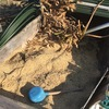 菜園のモミガラ堆肥