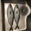 魚捌き イナダを2匹