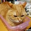 キメ顔で収納ケースに収まろうとする猫、でもはみ出てる