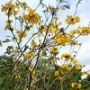 イペー:ブラジルの国花