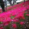 羽黒山公園で彼岸花お花見しつつタイヤ皮むきツー