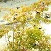 【野鳥】 コシアカツバメ飛来