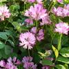 レンゲソウが咲いていました (⋈◍>◡<◍)。✧♡