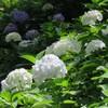 横浜の紫陽花 保土ヶ谷公園〜三ツ沢〜滝の川そして反町まで