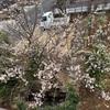 庭の【梅の木】が実ってきた!