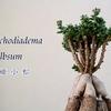 Trichodiadema bulbosum -紅姫小松-